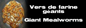 ɉlevages Lisard - Vers de farine géants - Giant Mealworms - Tenebrio molitor